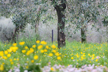 Flowering meadow under olive trees in Sirmione on Lake Garda, Region of  Brescia, Lombardy, Italy photo