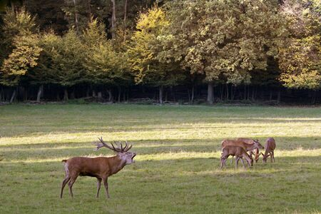 rutting: Male red deer in a forest clearing during the rutting Stock Photo