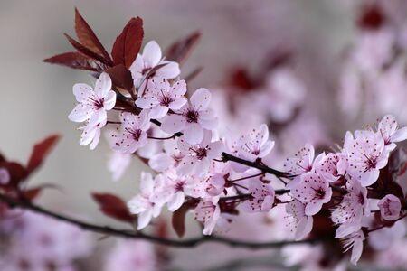 cerezos en flor: Japoneses cerezos en flor en el parque Foto de archivo