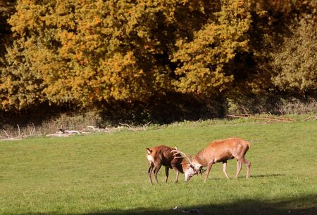 ungulates: Red deer on forest glade in the autumn