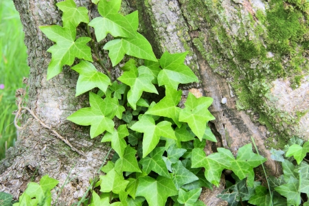 invasive plant: Close-up of young fern on tree trunk