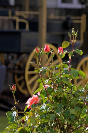 covered wagon: Roses and old covered wagon in Rotorua, New Zealand Stock Photo