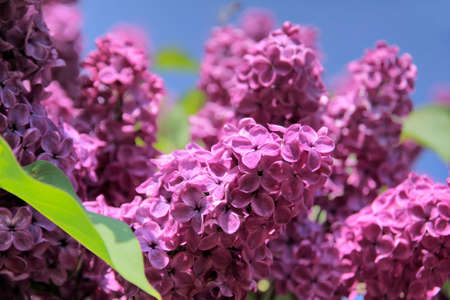 kerneudikotyledonen: Lush flowering lilac purple with blue sky Stock Photo