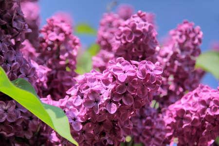 kerneudikotyledonen: Lush flowering lilac purple with blue sky Stock Photo