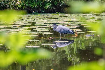 ardea cinerea: Grey Heron  Ardea cinerea  in water with aquatic plants