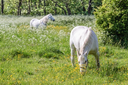 Two white horses on green pasture near Arsdale on Bornholm, Denmark photo