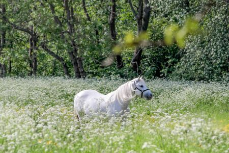 Two white horses in flower meadow near Arsdale on Bornholm, Denmark photo