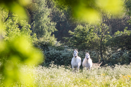 White horses in flower meadow near Arsdale on Bornholm, Denmark photo