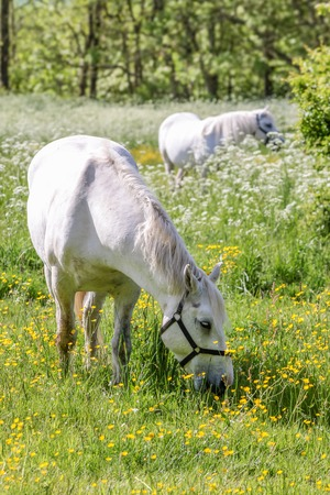 White horse on green pasture near Arsdale on Bornholm, Denmark photo