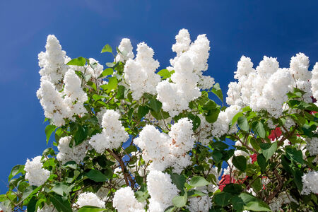 kerneudikotyledonen: White lilac in front of blue sky in May on Bornholm, Denmark Stock Photo