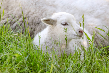 paschal lamb: Little lamb in the grass near the Hammershus, Bornholm, Denmark