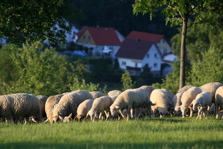 Flock of Sheep in the Taunus mountains in Germany Stock Photo - 26587379