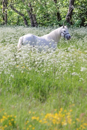 White horse in flower meadow near Arsdale on Bornholm, Denmark photo