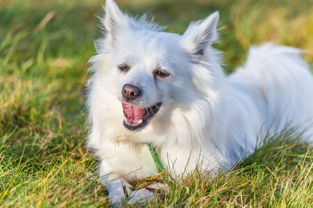 vigilant: White Pomeranian dog oscitant on grass field Stock Photo