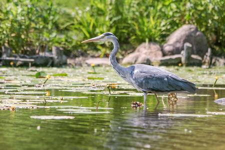 grey heron: Grey Heron  Ardea cinerea  in water with aquatic plants