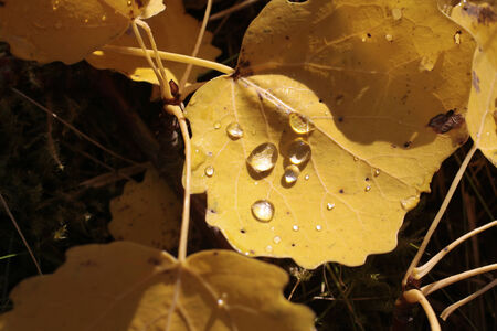 Yellow cottonwood leaves with morning dew near Engenhahn in the Taunus mountains, Hesse, Germany photo