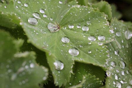 lotus effect: Raindrops on green leaf in the Taunus mountains near Engenhahn, Hesse, Germany Stock Photo