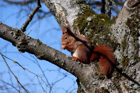 hesse: Squirrel sitting in tree in the Taunus mountains, Hesse, Germany Stock Photo