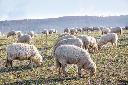 Flock Of Sheep in the Taunus mountains near Engenhahn, Hesse, Germany photo