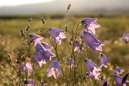 Bell flower (Campanula rotundifolia) with morning dew at Engenhahn, Hesse, Germany photo
