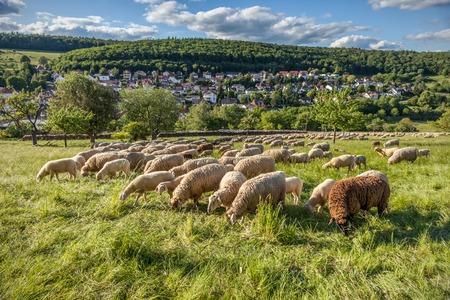 hesse: Flock Of Sheep in the Taunus mountains near Engenhahn, Hesse, Germany