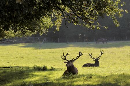 clearing: Male red deer in a forest clearing