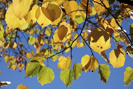 linden tree: Yellow autumn leaves of the linden tree with blue sky Stock Photo