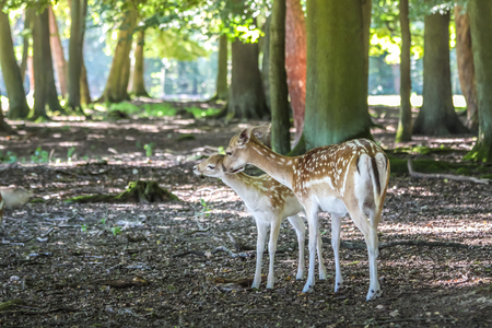 fallow deer: Young fallow deer (Dama dama) in the Deer Park at the hunting lodge Niederwald, Ruedesheim in the Rheingau, Hesse, Germany