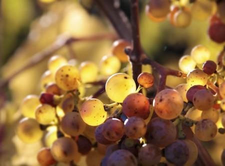 uvas vino: Riesling uvas de vino en oto�o cerca de Kiedrich Rheingau, Hesse Alemania Foto de archivo