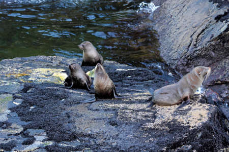south island new zealand: Seals in the Milford Sound Southland South island  New Zealand