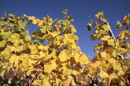riesling: Bright yellow leaves in vineyard near Kiedrich, Rheingau, Hesse, Germany