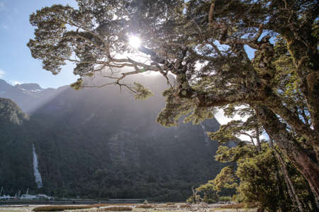 anau: Old tree in the Milford Sound, Southland, South island,  New Zealand