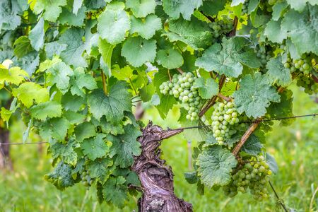 riesling: Green wine grapes in summer in the Rheingau area, Hesse, Germany