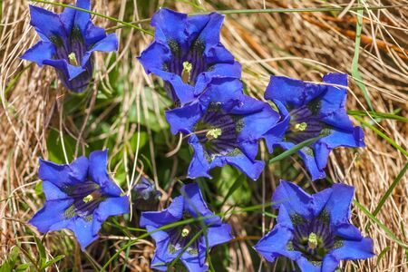 gentian flower: Stemless gentian (Gentiana acaulis) on mountain meadow in Reintal, Riva di Tures, South Tyrol, Italy Stock Photo