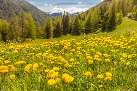 campo: Dandilon meadow in Campo Tures, South Tyrol, Italy
