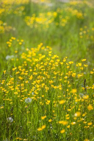 campo: Meadow with yellow buttercups in Campo Tures, South Tyrol, Italy