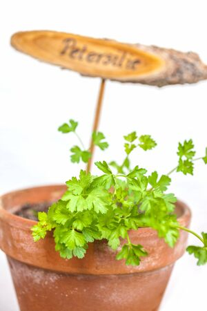 flowerpot: Flowerpot with parsley plant and plate, isolated