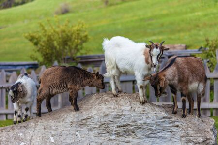hoofed animals: Goat family on a mountain farm in South Tyrol, Italy