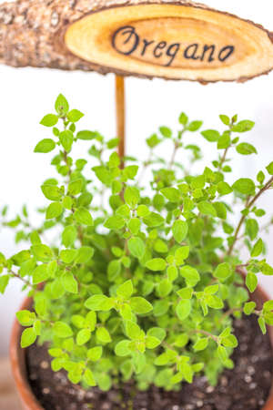 oregano plant: Flowerpot with oregano plant and plate, isolated