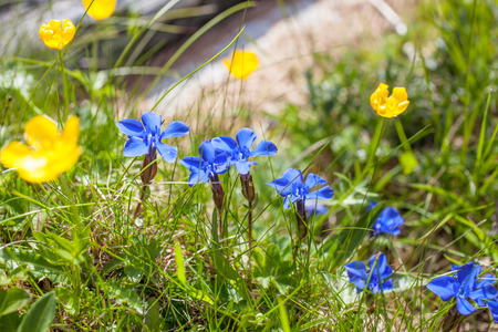 gentian flower: Bavarian gentian on mountain meadow in Reintal, Riva di Tures, South Tyrol, Italy Stock Photo
