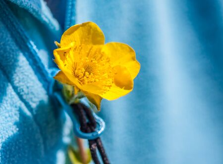 Small yellow flower in the buttonhole of a blue sweater Stock Photo