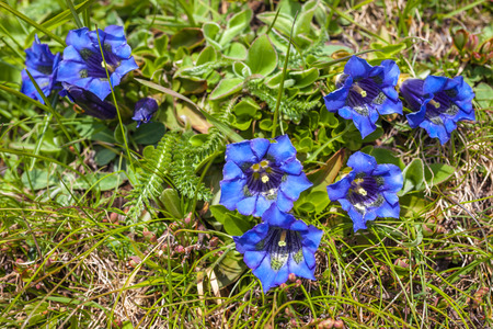 mountain meadow: Stemless gentian (Gentiana acaulis) on mountain meadow in Reintal, Riva di Tures, South Tyrol, Italy Stock Photo