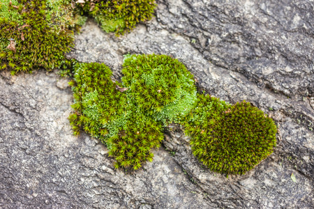 Heart shaped moss in the forest near Ahornach, South Tyrol, Italy