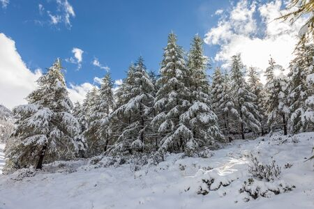 Winter forest on the Klausberg in Valle Aurina, South Tyrol, Italy