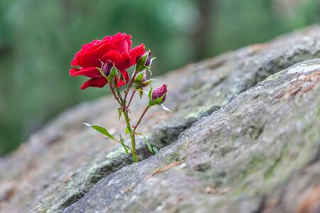 Red rose grows in a crevice of solid rock