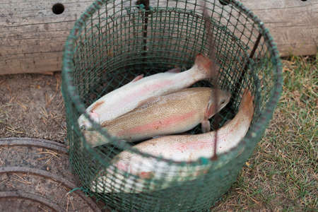 Caught large trout fish lies in a basket Stockfoto