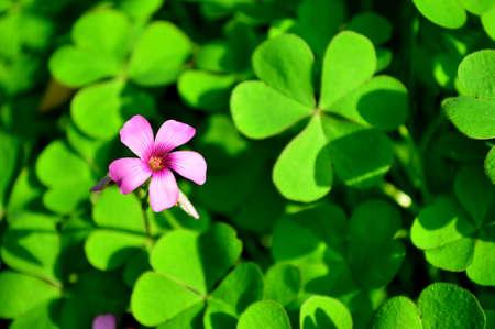 oxalis: Pink oxalis flowers