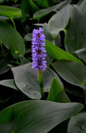 pickerel: Blooming purple pickerel weed