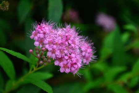 blooming: Blooming Spiraea Stock Photo