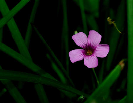 acetosella: Blooming Rosa tr�bol